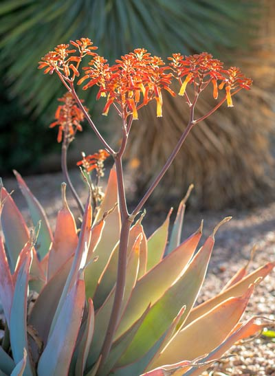 Desert flower at Cottonwood Tucson - holistic addiction and mental health treatment in Arizona
