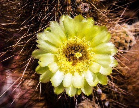 bright yellow flower on cactus - body dysmorphia